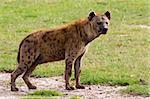 A spotted hyena. Amboseli National Park, Kenya
