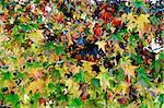 Maple Leaf Fall Season