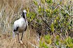Wild Wood Stork in Florida