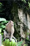monkey outside the batu caves hindu shrine near kuala lumpur malaysia