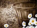 Old bushel basket with summer daisies.