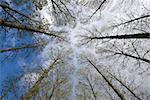 Umberslade, warickshire, an avenue of poplar trees road lane