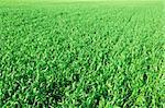 spring green field background