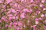 Blossom of rhododendron in botanic garden of Kyiv's University.
