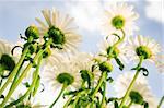 Wild Daisy Under The Sky