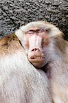 baboon sleeping next to his buddy closeup (papio hamadryas)