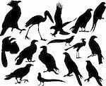 Vector illustrations black silhouettes birds on white