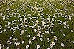 ox-eye daisies (Leucanthemum vulgare) in meadow; background/texture; differential focus