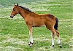 A little foal in grassland in semiwild living