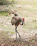 Sandhill crane seen in the Florida Everglades