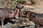 Hippos Fighting - Serengeti Wildlife Conservation Area, Safari, Tanzania, East Africa