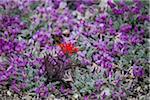 Wildflowers, Great Basin National Park, Nevada, USA