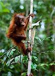 Baby orangutan (Pongo pygmaeus) swinging in tree .  Borneo, Indonesia.