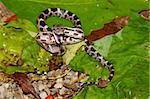 A Gray Rat Snake (Elaphe obsoleta) at Monte Sano State Park in northern Alabama.