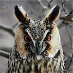 Screech-owl portrait. Closeup shot in nature scenics.