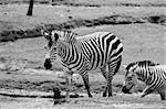 Wilking Zebras
