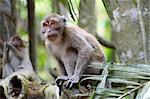 Monkey in jungles. Jawa, Indonesia