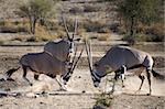 Gemsboks fighting in the Kalahari desert