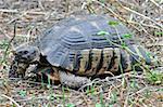 Turtle in natural habitat.