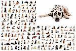 composite picture with dalmatian purebred  dogs in a white background