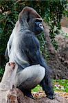 a big gorilla silver back male in the zoo