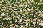 Daisy - Marguerite - Leucanthemum