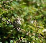 Immature European Goldfinch on branch