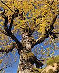 Ahornbaum im Herbst, Grosser Ahornboden, Karwendel, Eng, Tirol, Österreich