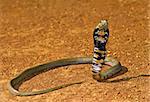 Spitting cobra ready to attack in Kalahari Desert, nature series.