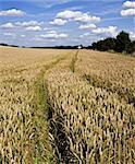 farmland cornfield ripening agriculture