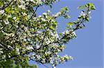 Nice apple flowers on clear blue sky