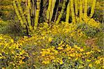 Desert landscape with Brittlebush (Encilia farinosa), Gold Poppies (Eschscholtzia mexicana), and Organ Pipe Cactus (Stenocereus thurberi)
