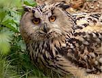 Eagle Owl (bubo-bubo) shot in a wild