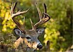 Whitetail deer buck head-shot.