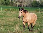 A buckskin horse strolls across a field.