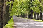 An oak lined road in Hastings, Hawke's Bay, New Zealand