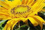 Macro close up shot of sunflower Helianthus annuus