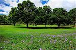 Three mango trees on green field with wildflowers