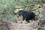 a blackbird feeding little birds in their nest