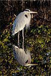Great Blue Heron (Ardea Herodias) reflection in the Florida Everglades