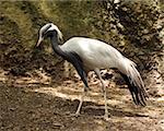 Demoiselle crane (Anthropoides virgo) common in Asia