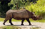 Adult white rhinoceros walking in the wild