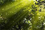 Golden morning sunbeam in forest.