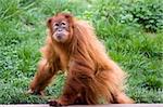 photo of a wild red cute orangutan monkey