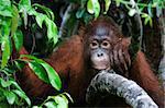 Indonesia, Borneo - Little Orangutan sitting in the trees
