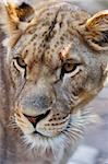 Close-up of Lioness - portrait