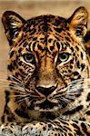 A closeup portrait of a beautiful jaguar.
