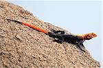 Red Headed Agama Lizard at Abela Rock in Katakwi, Uganda - The Pearl of Africa
