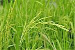 Close up of green paddy rice.