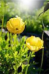 Eschscholzia californica in the garden